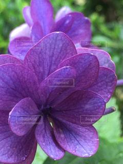 花,緑,カラフル,あじさい,紫,鮮やか,紫陽花,梅雨,はな,フォトジェニック,インスタ映え