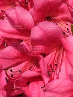ピンクの花のグループの写真・画像素材[1368651]
