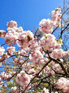 木にピンクの花のグループの写真・画像素材[1375959]