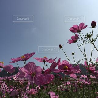 ピンクの花で一杯の花瓶の写真・画像素材[1386396]