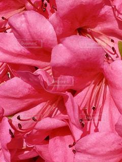 花,ピンク,ピンク色,桃色,pink,さつき