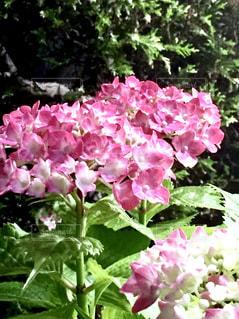 花,ピンク,紫陽花,桃色,pink,アジサイ