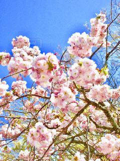 花,ピンク,八重桜,ピンク色,桃色,pink