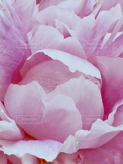花,ピンク,ピンク色,桃色,pink,芍薬
