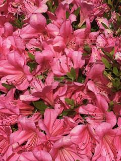 ピンク,ピンク色,桃色,pink,さつき