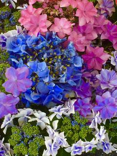 花,ピンク,紫陽花,ピンク色,桃色,pink,がくあじさい