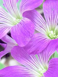 近くに紫の花のアップの写真・画像素材[1453167]