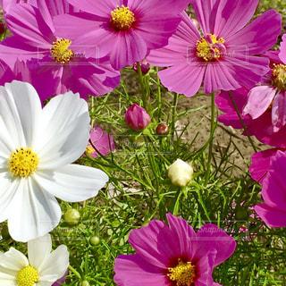 花,秋,花畑,ピンク,白,コスモス,つぼみ,蕾,秋桜,コスモス畑,フォトジェニック,インスタ映え