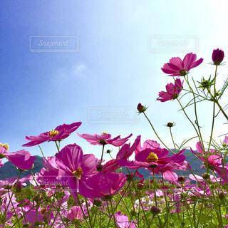 紫色の花一杯の花瓶の写真・画像素材[1454614]