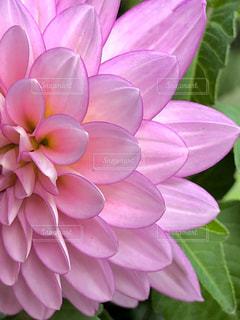 花,ピンク,ピンク色,桃色,ダリア,pink,フォトジェニック,インスタ映え
