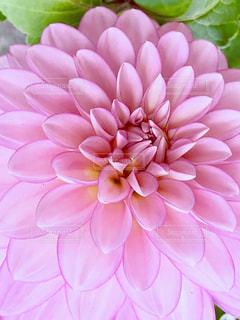 花,ピンク,ピンク色,ダリア,pink,フォトジェニック,ももいろ,インスタ映え