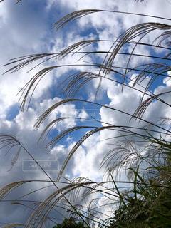 風景,空,秋,雲,草,ススキ,旅行,野草,高原,コントラスト,秋空,秋の空,蒜山
