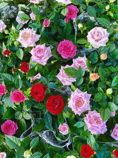 近くの花のアップの写真・画像素材[1537520]