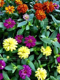 近くの花のアップの写真・画像素材[1559598]