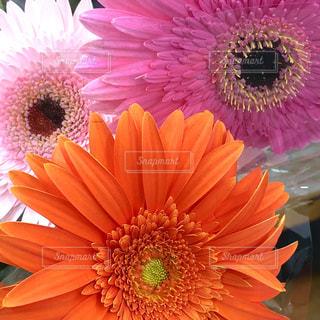 ガーベラの花の写真・画像素材[1579220]