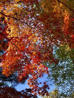 大きな木の写真・画像素材[1622314]