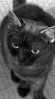 カメラを見ている猫の写真・画像素材[1689392]