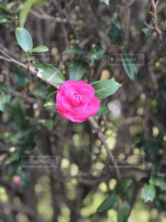 植物にピンクの花の写真・画像素材[1793704]