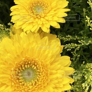 黄色の花の写真・画像素材[1824624]