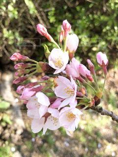 桜の蕾の写真・画像素材[1991144]