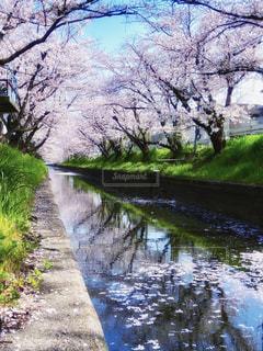 桜の写真・画像素材[2010962]