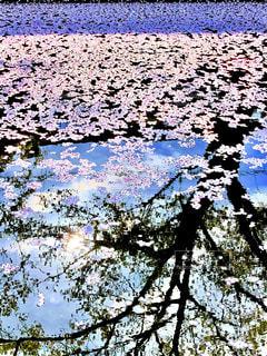 桜の写真・画像素材[2017690]