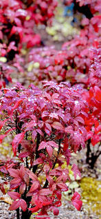 屋外,ピンク,植物,カラフル,水,水滴,葉,鮮やか,水玉,雫,南天,草木,フォトジェニック