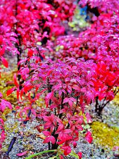 ピンク,植物,カラフル,水,水滴,葉,鮮やか,水玉,雫,南天,草木,フォトジェニック