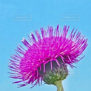 花,屋外,ピンク,植物,カラフル,青空,青,鮮やか,一輪の花,アザミ,可愛い,シンプル,パステルカラー,草木,フォトジェニック,ファンシー