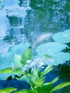 蓮池の写真・画像素材[4610776]