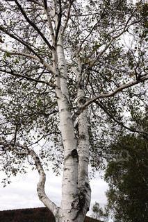 白樺の写真・画像素材[1198695]