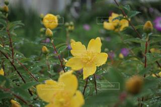 自然,花,植物,黄色,黄色い花,雨上がり,イエロー,ヒペリカム,きいろ,yellow,散策,キンシバイ,雨上がりの朝