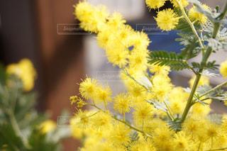 自然,花,植物,フラワー,黄色,黄色い花,鉢植え,flower,ミモザ,イエロー,きいろ,yellow,自家栽培,開花