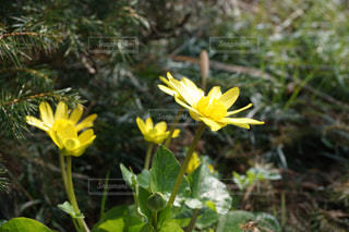 自然,花,植物,黄色,黄色い花,flower,イエロー,きいろ,yellow,散策,開花,ヒメリュウキンカ
