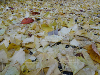 自然,紅葉,植物,葉っぱ,散歩,黄色,葉,イチョウ,銀杏,イエロー,グラデーション,落葉,落葉樹,散策