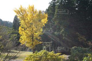 自然,紅葉,植物,葉っぱ,黄色,鳥居,葉,イチョウ,銀杏,イエロー,落葉,落葉樹,きいろ,黄色い,yellow,散策,takesuu