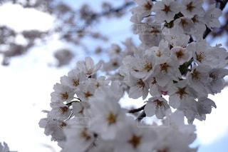 自然,花,春,桜,屋外,花見,サクラ,お花見,さくら,takesuu