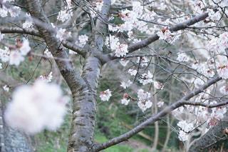 自然,花,春,桜,屋外,散歩,花見,サクラ,お花見,桜の木,さくら,散策,takesuu