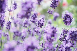 自然,花,屋外,散歩,花見,ラベンダー,お花見,ハーブ,香り,散策,takesuu