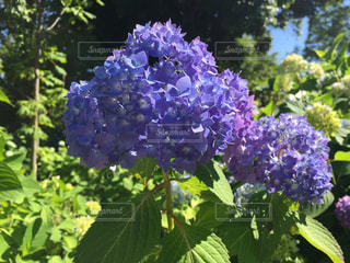 花,緑,カラフル,紫,葉,レジャー,アジサイ,ガーデン