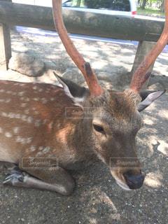 観光,旅行,鹿,奈良,奈良公園,夏バテ