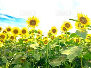 ひまわり畑の写真・画像素材[1369032]