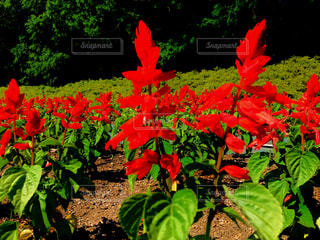 真っ赤な花の写真・画像素材[1378546]
