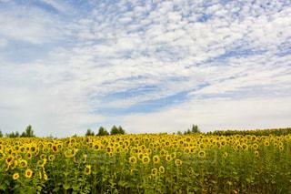 花,花畑,黄色,北海道,鮮やか,向日葵,イエロー,色,yellow