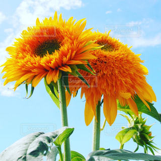 空,花,ひまわり,青,黄色,向日葵,イエロー,茨城,黄,yellow,明野