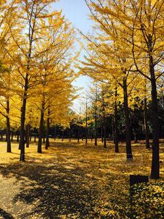 木,黄色,イチョウ,イエロー,茨城,黄,万博記念公園,yellow,イチョウ並木