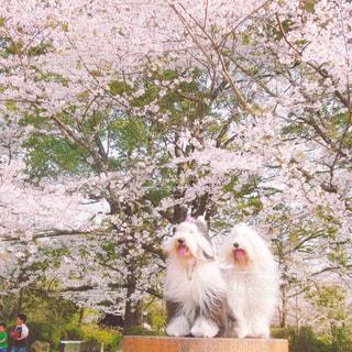 桜満開🌸の写真・画像素材[1187306]