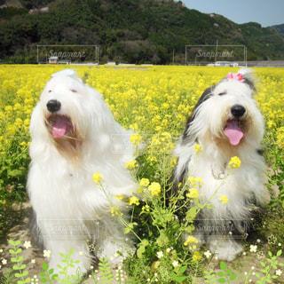 菜の花畑の写真・画像素材[1187310]