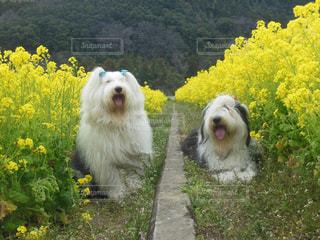 菜の花畑の写真・画像素材[1190970]