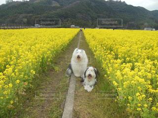 菜の花畑甘い香りの写真・画像素材[1190978]